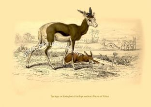 Springer or Springbock (Antilope euchore) Native of Africa